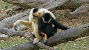 Dwa Czarny I Biały Gibbon na gałąź Jedzą jedzenie w Khao Kheow Otwartym zoo Tajlandia zbiory