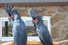 Dwa czarny kakadu w zoo Obrazy Royalty Free