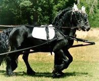 Dwa Czarny koń w nicielnicie Obrazy Stock