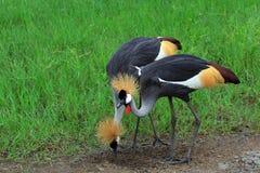 Dwa czarny koronowanego żurawia zdjęcie royalty free