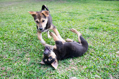 Dwa czarny mały pies bawić się na trawie zdjęcia royalty free