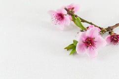 Dwa czereśniowego okwitnięcia kwiatu na bielu Obraz Royalty Free
