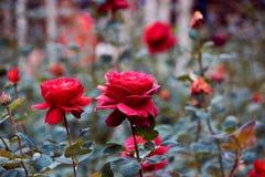Dwa czerwieni piękna róża Obraz Stock
