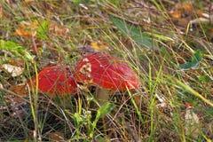 Dwa czerwieni pieczarkowy Amanita pod mój ciekami w suchej trawie Obraz Royalty Free