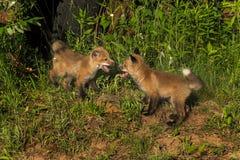 Dwa Czerwonego Fox zestawów spotkanie (Vulpes vulpes) Fotografia Stock