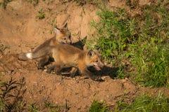 Dwa Czerwonego Fox zestawów Vulpes vulpes bieg prawica Fotografia Stock