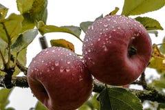 Dwa czerwonego jabłka wiesza na drzewie i zakrywającego z ranek rosy kroplami obrazy royalty free