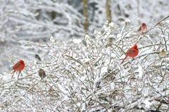Dwa czerwonego męskiego kardynała, Różowy Fitch, żerdź w śnieżnym krzaku Obrazy Royalty Free