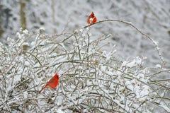 Dwa czerwonego męskiego kardynała, Różowy Fitch, żerdź w śnieżnym krzaku Fotografia Royalty Free