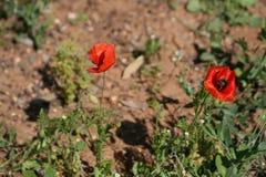 Dwa czerwonego maczka w polu zdjęcie royalty free