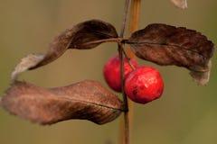 Dwa czerwonej jagody i brązów suchych liście Zdjęcie Stock