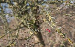 Dwa czerwonej jagody na wietrzejącym krzaku Zdjęcie Stock