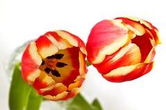 Dwa Czerwony i Żółci tulipany Obrazy Royalty Free