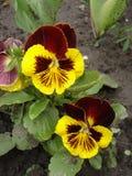 Dwa czerwony i żółtych blotch pansy kwiatów Majestatyczni giganty Obrazy Stock