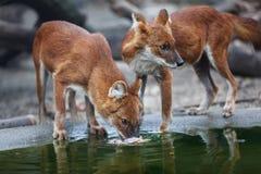 Dwa czerwony wilk Zdjęcia Royalty Free