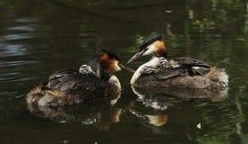 Dwa czubatego perkoza Podiceps oszałamiająco dorosły Wielki cristatus oba pływa na rzece z ich ślicznymi dziećmi jedzie na ich pl Fotografia Stock
