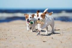Dwa dźwigarek Russell terier jest prześladowanym bawić się na plaży Fotografia Stock