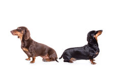 Dwa dachsunds Obrazy Stock
