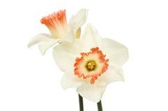 Dwa Daffodil kwiatu Zdjęcie Royalty Free