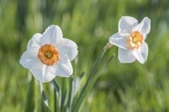 Dwa Daffodil kwiatu w ogródzie Zdjęcie Stock