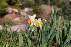 Dwa daffodils w ogródzie Fotografia Stock