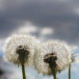 Dwa Dandelion ciosu piłki Zdjęcia Royalty Free