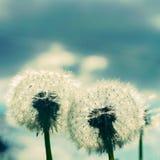 Dwa Dandelion ciosu piłki Instagram Zdjęcia Stock