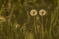 Dwa Dandelion w łące Fotografia Royalty Free