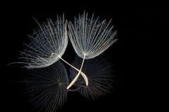 Dwa Dandelion ziarna obrazy stock