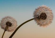 Dwa dandelion zmierzchu lata nieba błękita makro- lekki okwitnięcie zdjęcie royalty free