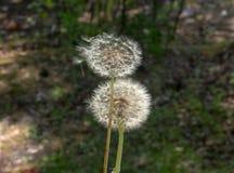 Dwa dandelions w lasowej polanie zdjęcia stock