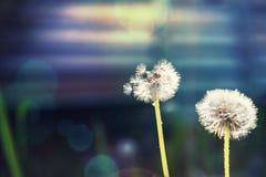 Dwa dandelions w polu Zdjęcia Royalty Free