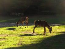 Dwa deers las Obraz Stock