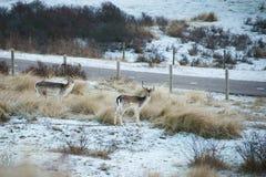 Dwa deers stoi blisko drogi, holandie zdjęcie royalty free