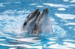Dwa delfin?w cuddle w wodzie zdjęcie royalty free