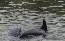 Dwa delfinu bawić się w wodzie obrazy royalty free