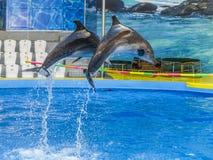 Dwa delfinu skaczą nad crossbar w Dolphinarium fotografia stock