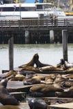 Dwa Dennego lwa obejmuje na molu 39 w San Fransisco Obraz Royalty Free