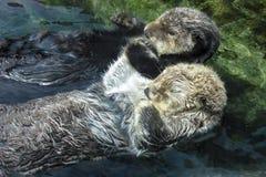 Dwa Dennej wydry Trzyma łapy i Unosi się na plecy zdjęcie royalty free