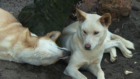 Dwa Dingoes sztuka Obok beli zdjęcie wideo