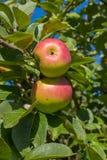 Dwa dojrzałego jabłka na gałąź w ogródzie Zdjęcia Stock