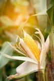 Dwa dojrzały żółty cob słodka kukurudza na polu Zbiera kukurydzanej uprawy Obrazy Royalty Free