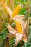 Dwa dojrzały żółty cob słodka kukurudza na polu Zbiera kukurydzanej uprawy Obraz Stock