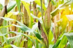 Dwa dojrzały żółty cob słodka kukurudza na polu Zbiera kukurydzanej uprawy Zdjęcie Stock