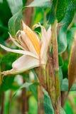 Dwa dojrzały żółty cob słodka kukurudza na polu Zbiera kukurydzanej uprawy Zdjęcie Royalty Free