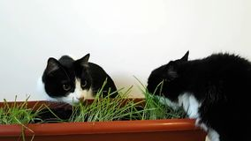 Dwa domowego kota jedzą odrośniętej trawy Narastający owsy w garnku Kotów potrząśnięcia i liźnięcia jego przewodzą śmiesznego zbiory wideo