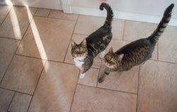 Dwa domowego kota szuka fundę fotografia royalty free