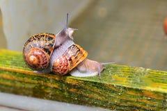Dwa dorosłego ślimaczka czołgać się wpólnie na rolnych ślimaczki Zdjęcie Royalty Free