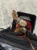 Dwa dorosłej samiec soból myszkuje przy Seaford wschodem Sussex obrazy royalty free