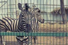 Dwa dorosłej zebry żyją w zoo Obrazy Stock